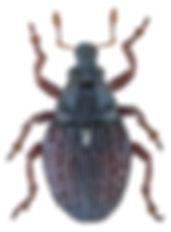 neophytobius_quadrinodosus_1a.jpg