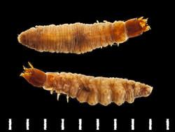 Enochrus affinis larva