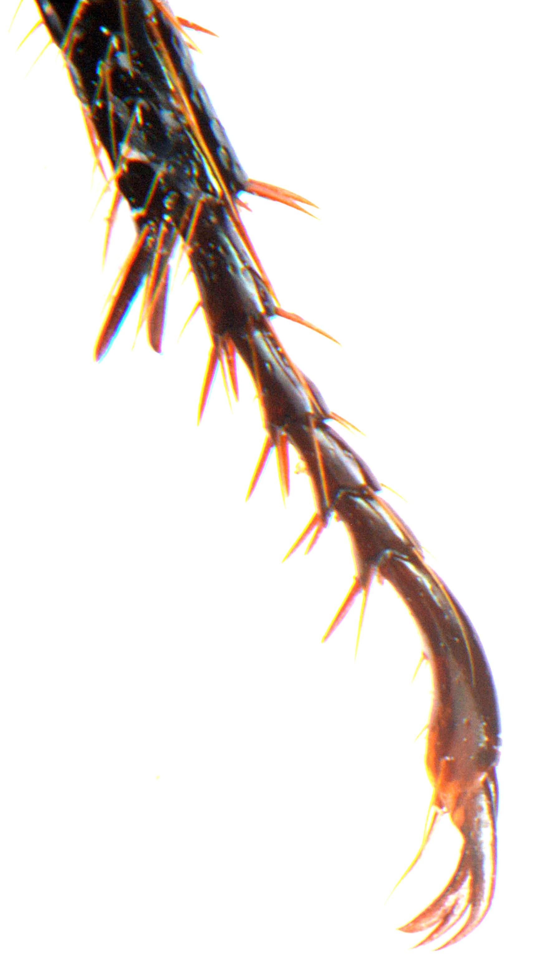 Anomala dubia mid claw