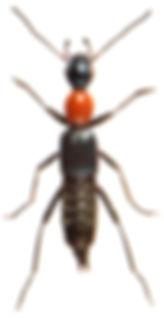 Paederidus ruficollis 2.jpg