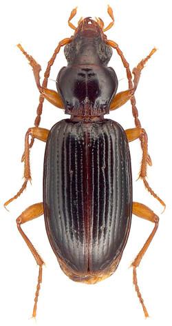 Sinechostictus inustus 1