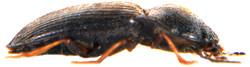 Hypnoidus riparius 2