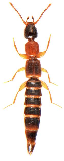 Sunius propinquus