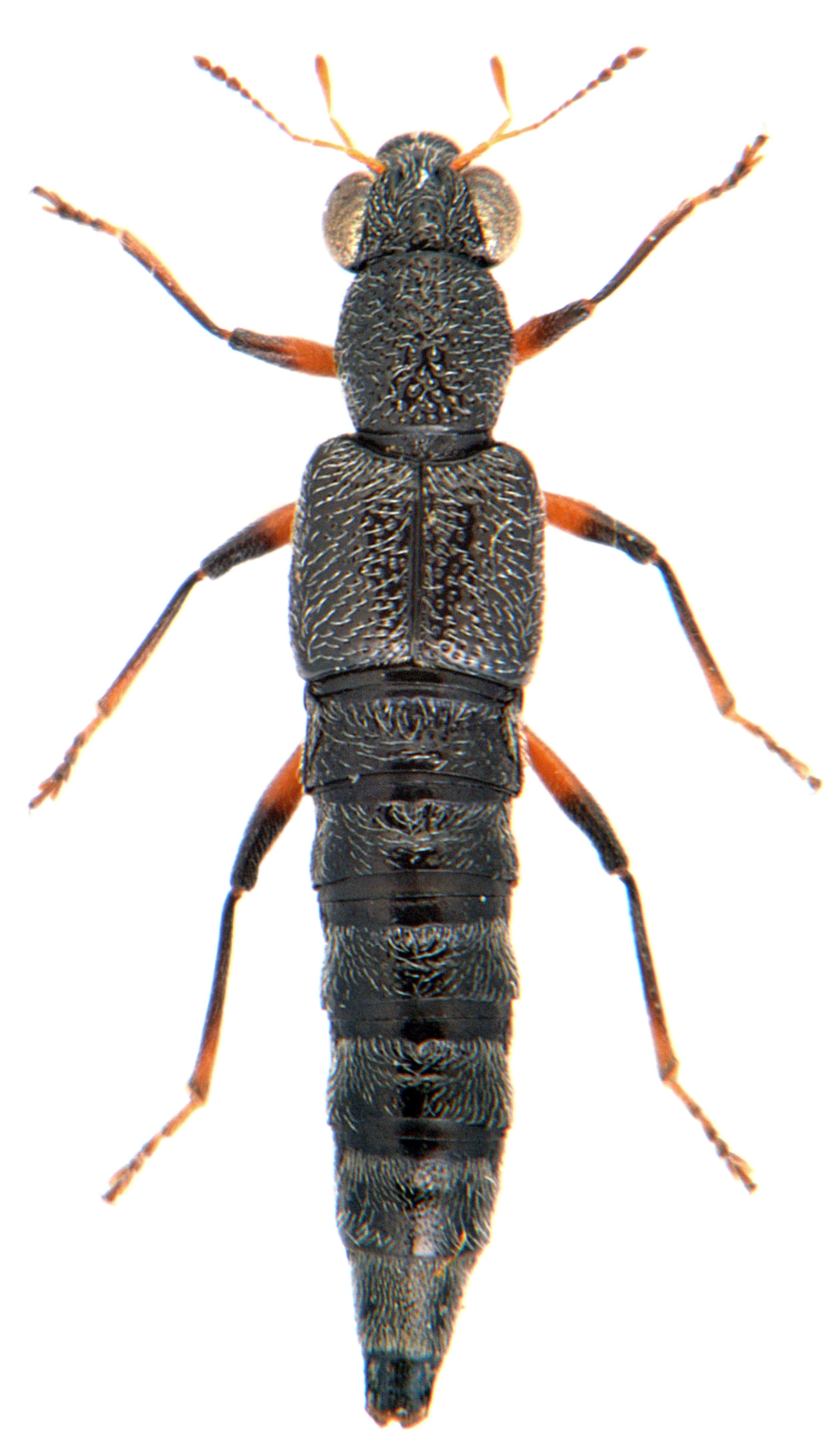 Stenus cicindeloides 1
