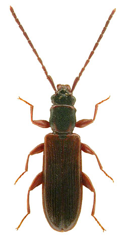 Dendrophagus crenatus 1