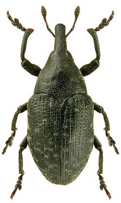 Larinus turbinatus 1