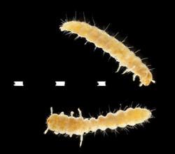 Oryzapehilus surinamensis larvae