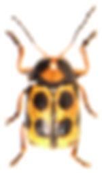 Cryptocephalus decemmaculatus.jpg