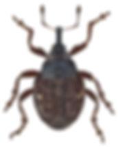 thamiocolus_viduatus_1.jpg