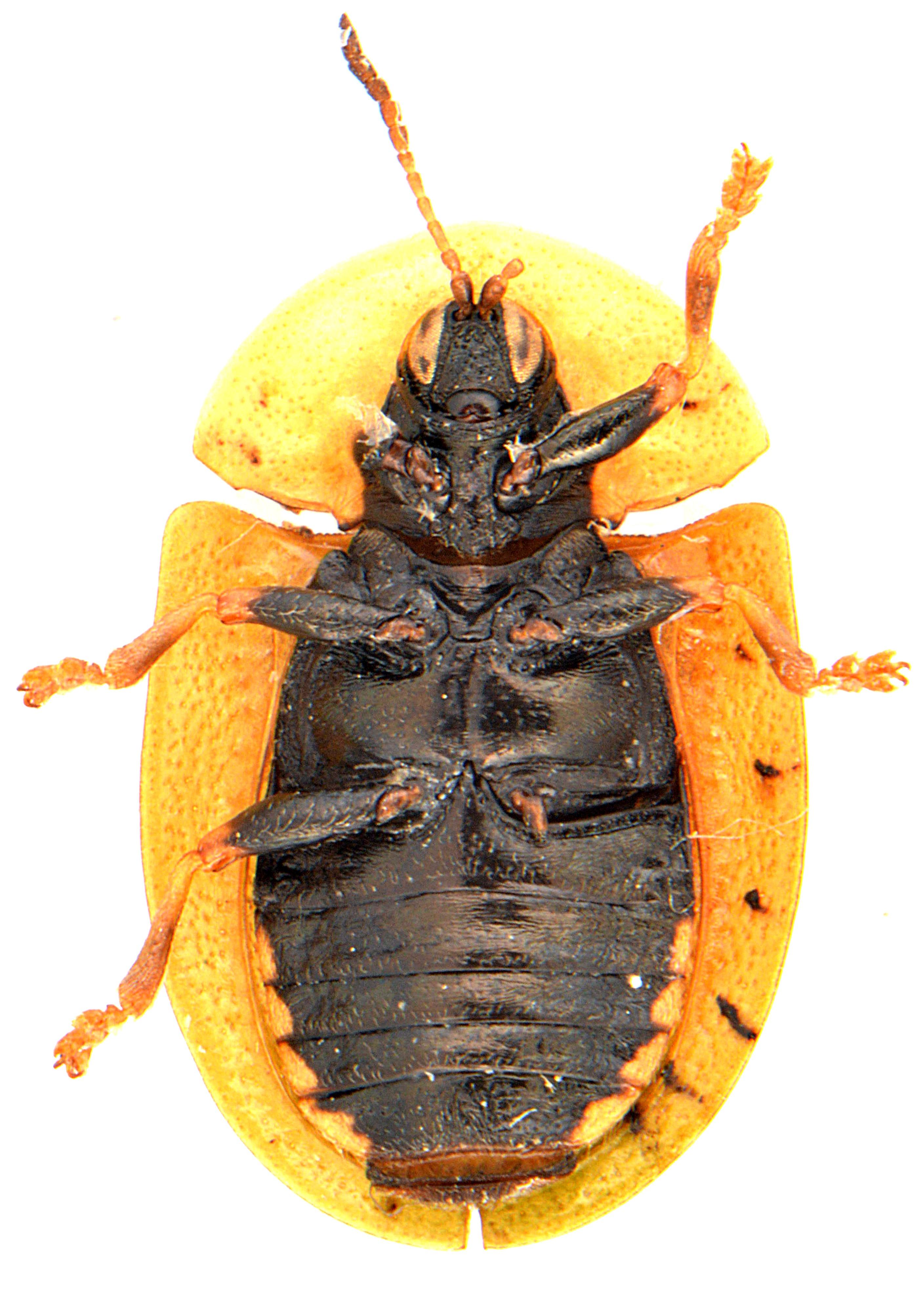 Cassida rubiginosa 3