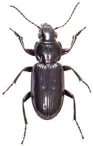 Pterostichus aterrimus 1.jpg