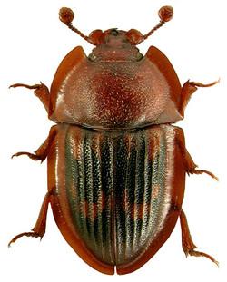 Amphotis marginata 1