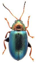 Crepidodera nitidula 1.jpg