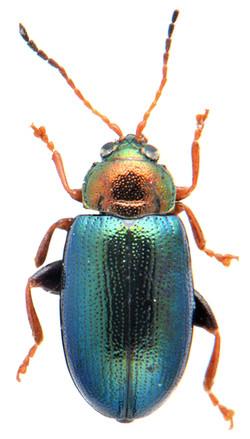 Crepidodera nitidula 1