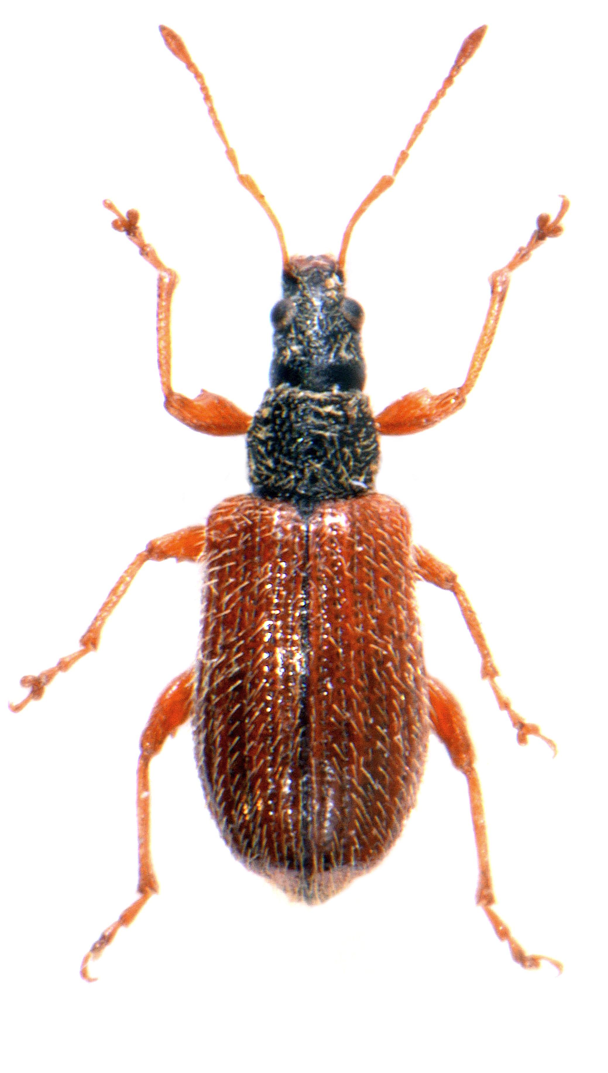 Phyllobius oblongus 2