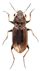 Notiophilus biguttatus 3.jpg