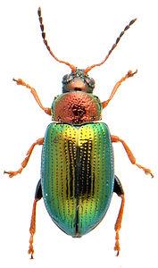 Crepidodera aurata 1.jpg