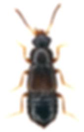 Philorinum sordidum.jpg