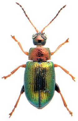 Crepidodera aurata 2