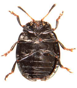 Plagiodera versicolora 3