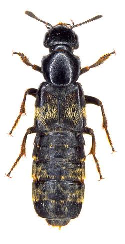 Creophilus maxilosus ♀