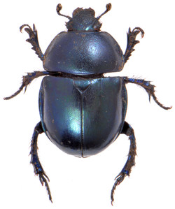 Trypocopris vernalis 1