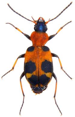 Callistus lunatus 1
