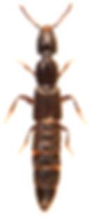 Phacophallus parumpuntatus 1.jpg