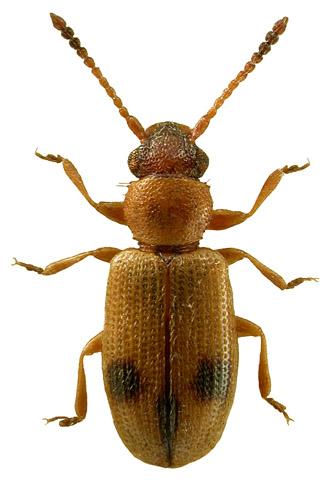 Psammoecus bipunctatus