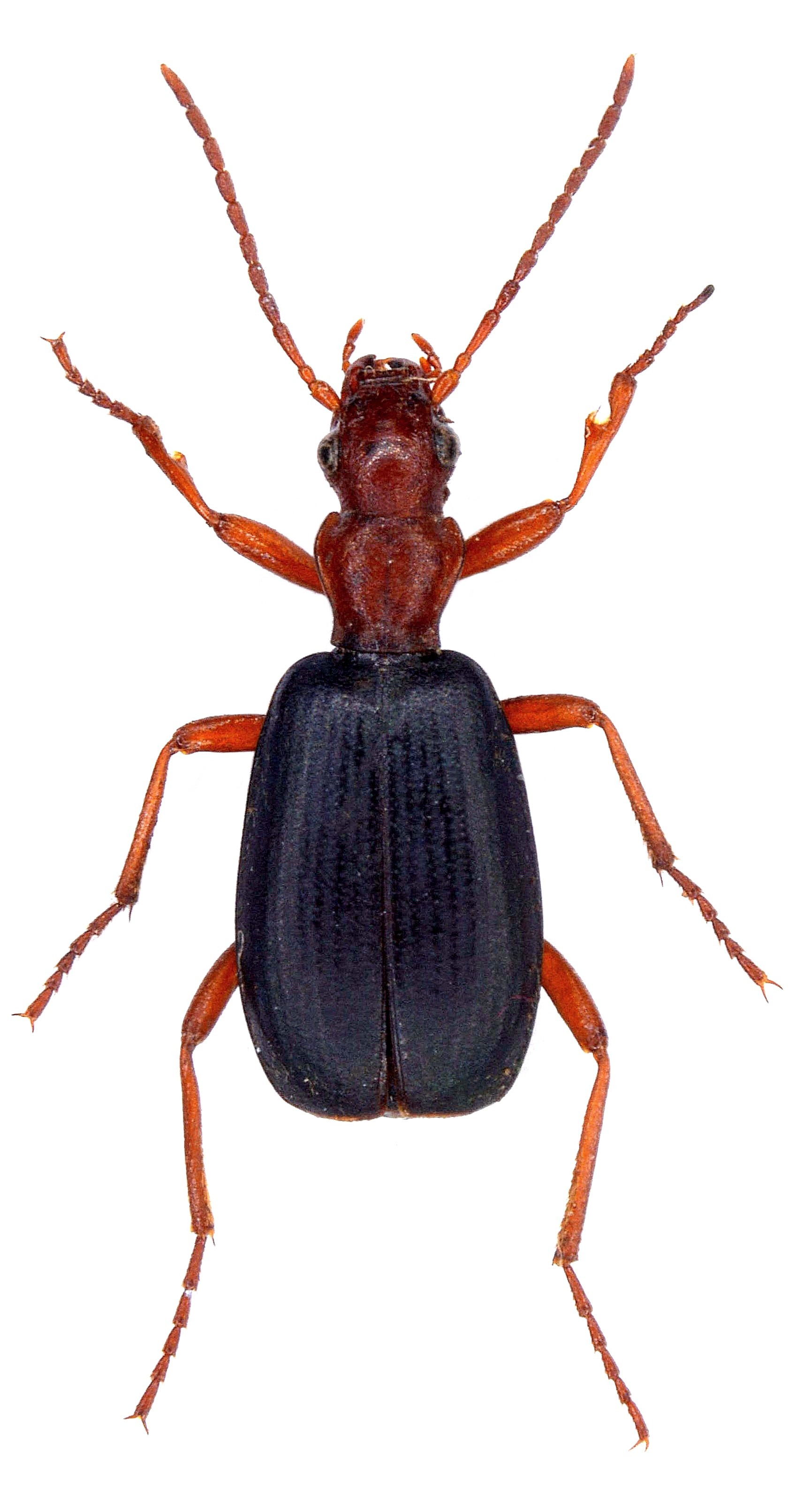 Brachinus crepitans 1
