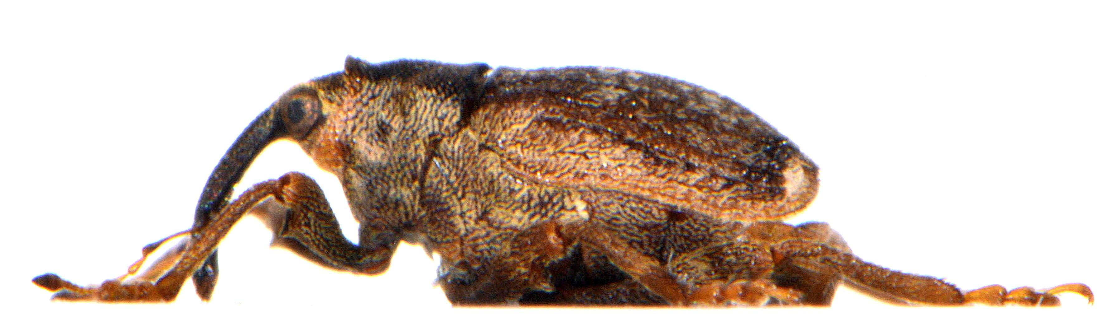 Parathelcus pollinarius 5