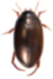 Ilybius montanus 2.jpg