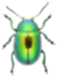 Chrysolina herbacea 4a.jpg