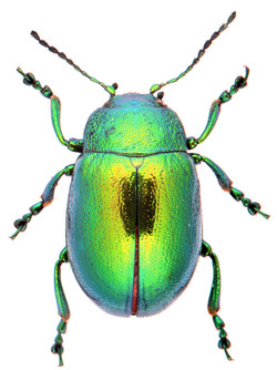 Chrysolina herbacea
