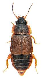 Megarthrus hemipterus 1.jpg