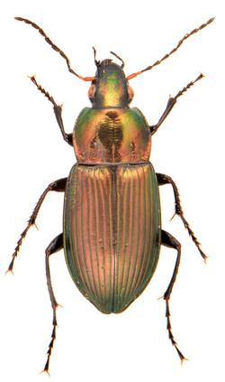 Poecilus cupreus 1