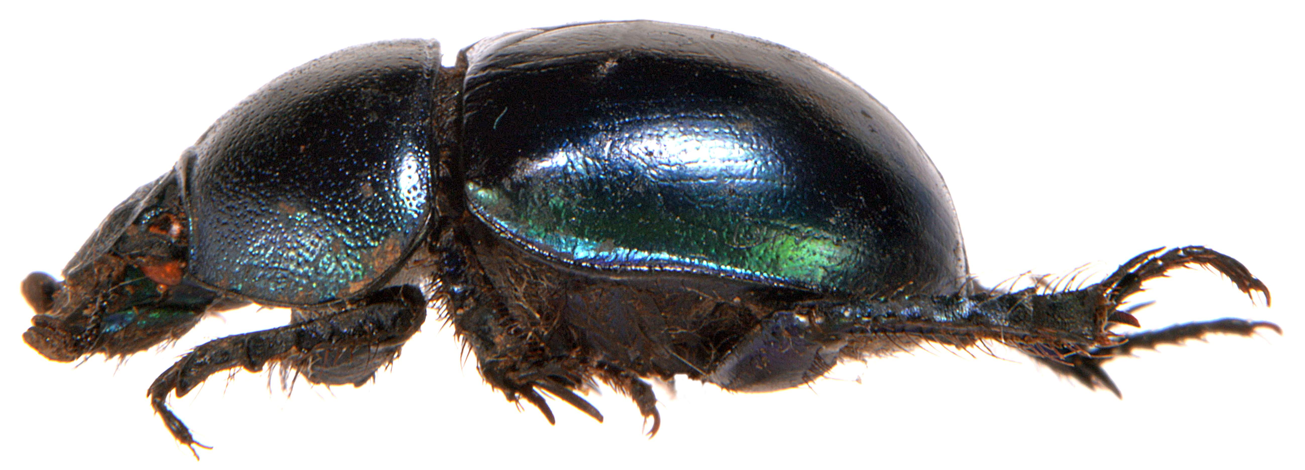 Trypocopris vernalis 3