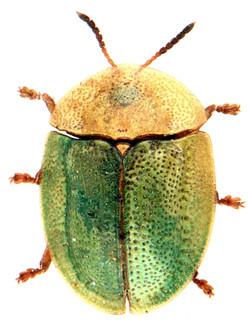 Cassida rubiginosa 1