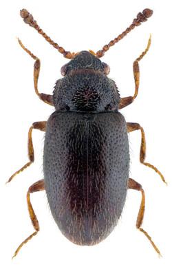 Henoticus serratus 1
