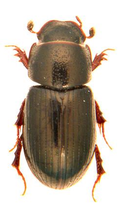 Liothorax plagiatus 2