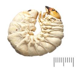 Lucanus cervus larva