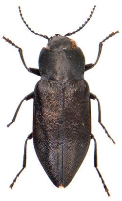 Melanophila acuminata