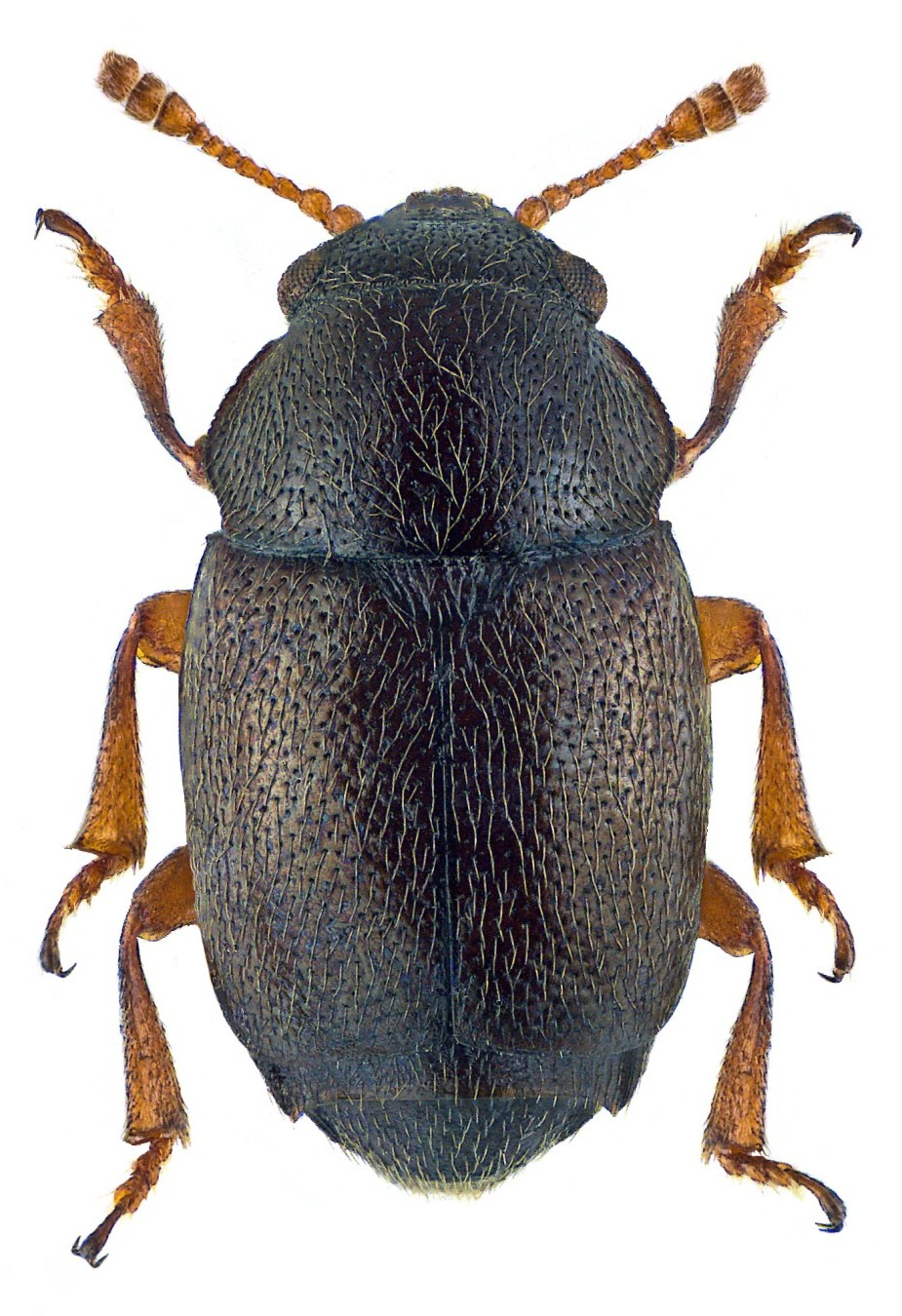 Brachypterus urticae 2