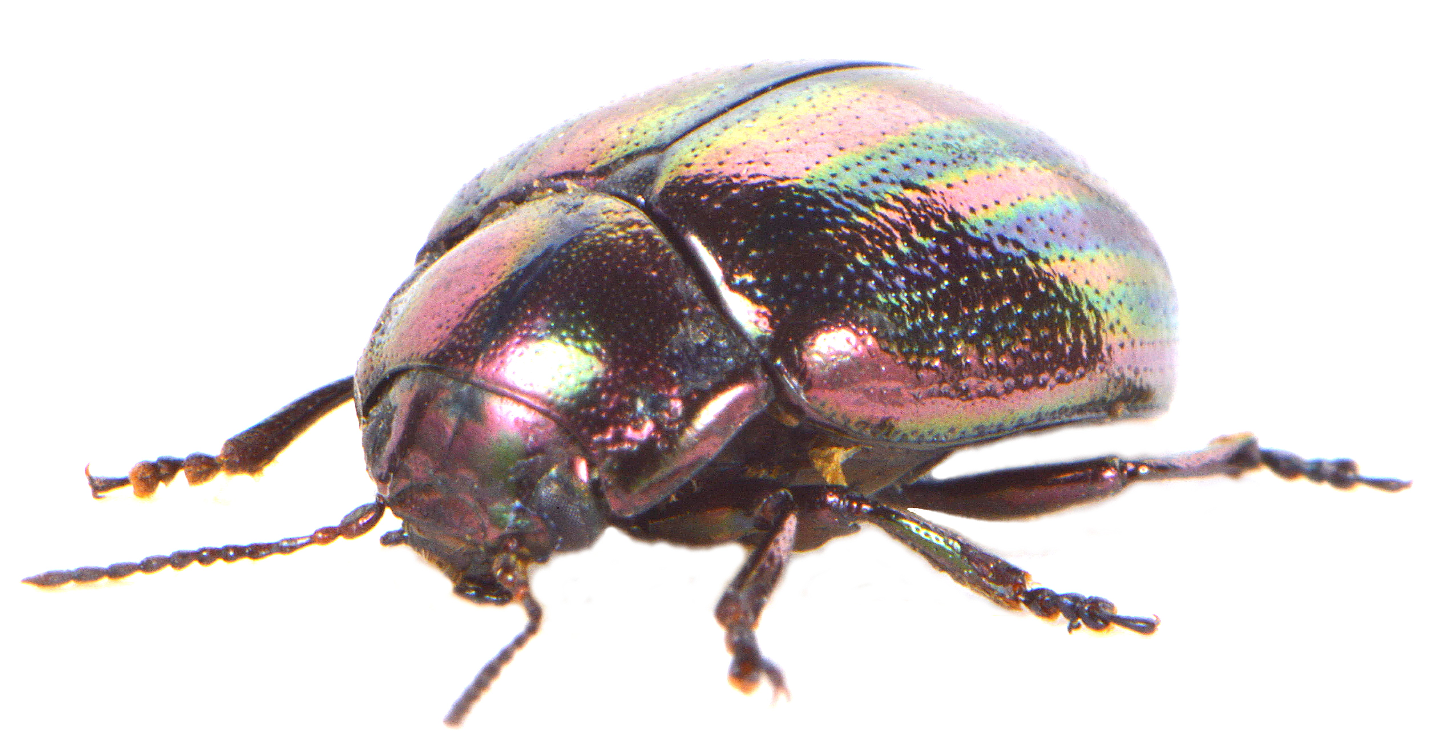 Chrysolina cerealis 2