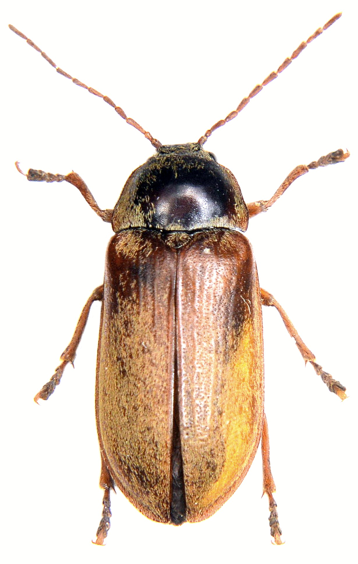 Dascillus cervinus