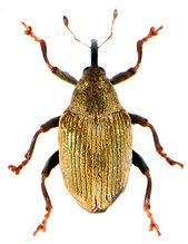 Drupenatus nasturtii 1.jpg