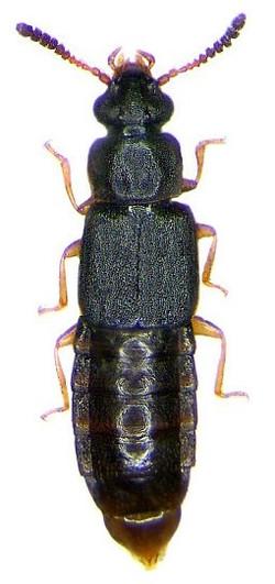 Phloeonomus pusillus 1