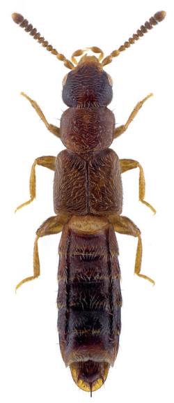 Anomognathus cuspidatus 2