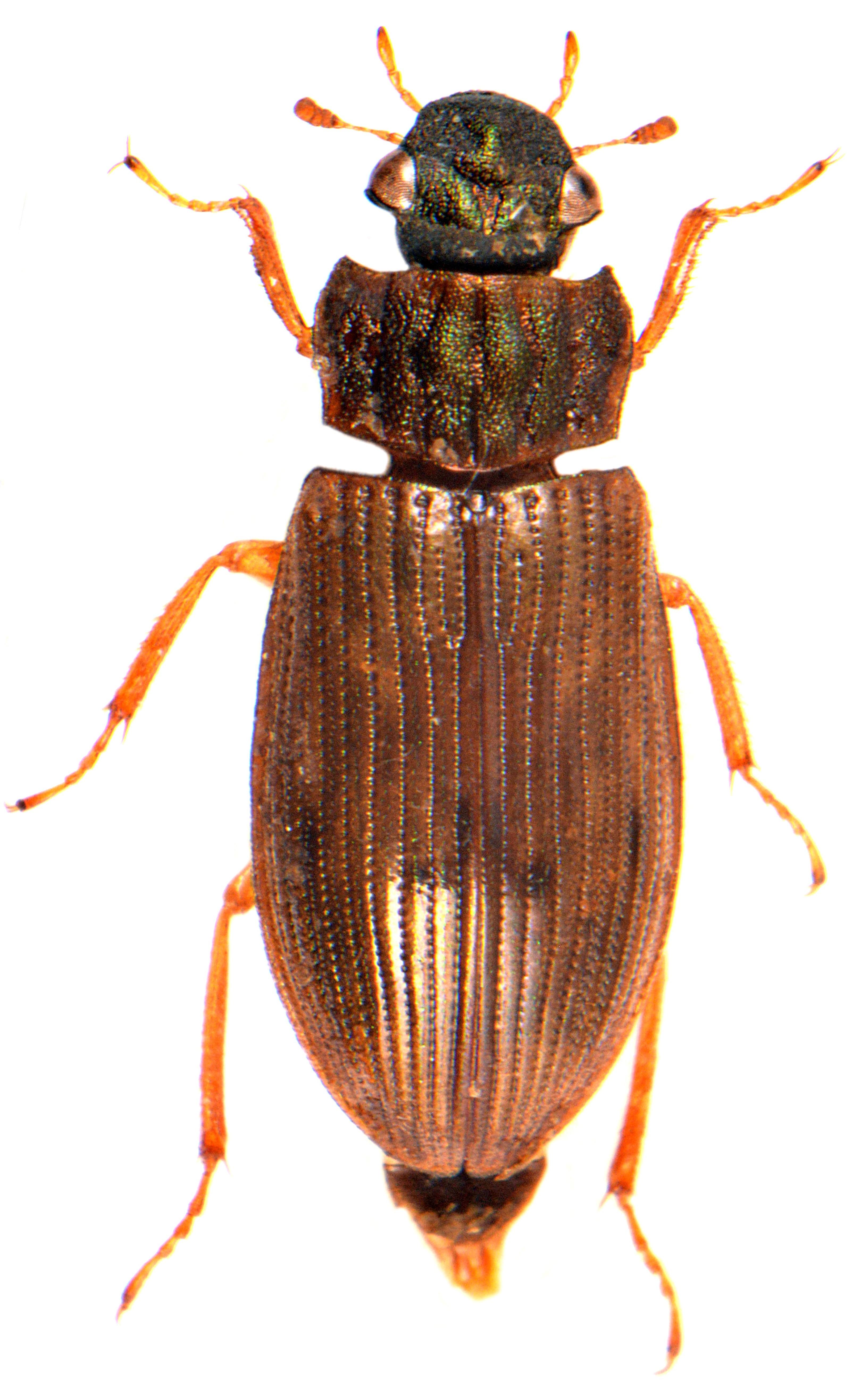 Helophorus aequalis 4