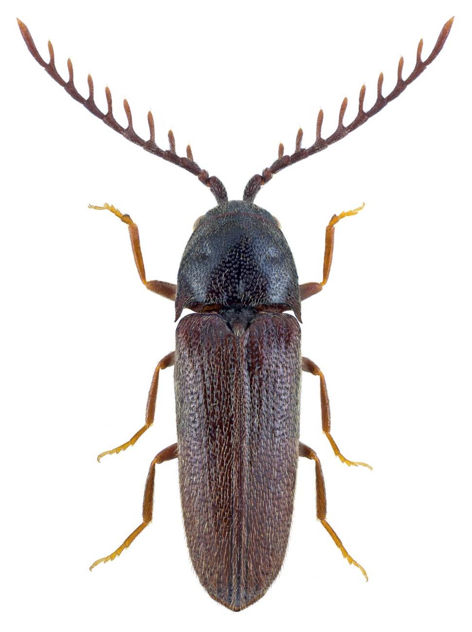 Microrhagus pygmaeus 1
